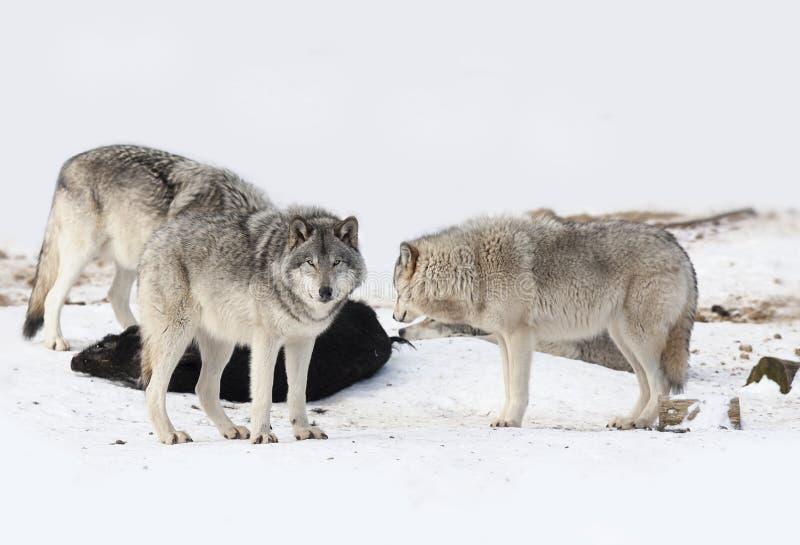 Wat Houtwolven of het Grijze de wolfszweer van wolvencanis voeden op everzwijnkarkas in Canada stock afbeeldingen