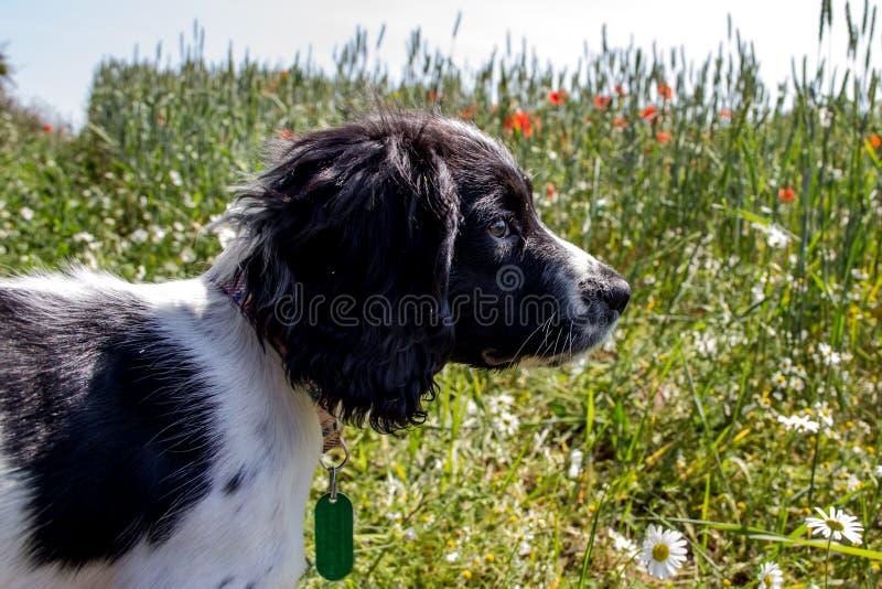 Wat kan ik zien? Een jong puppy die uit over een weide in de zonneschijn kijken stock afbeelding