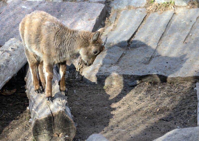 Wat Kaukasische tur van het Oosten op de rots Hoofed dieren van de wereld royalty-vrije stock afbeeldingen