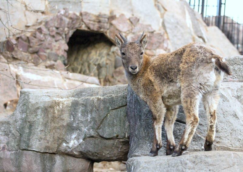 Wat Kaukasische tur van het Oosten op de rots Hoofed dieren van de wereld stock foto