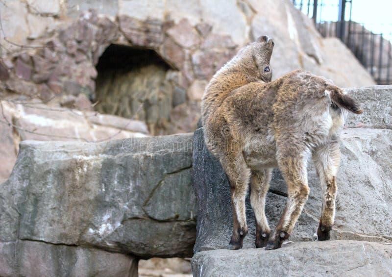 Wat Kaukasische tur van het Oosten op de rots Hoofed dieren van de wereld royalty-vrije stock foto