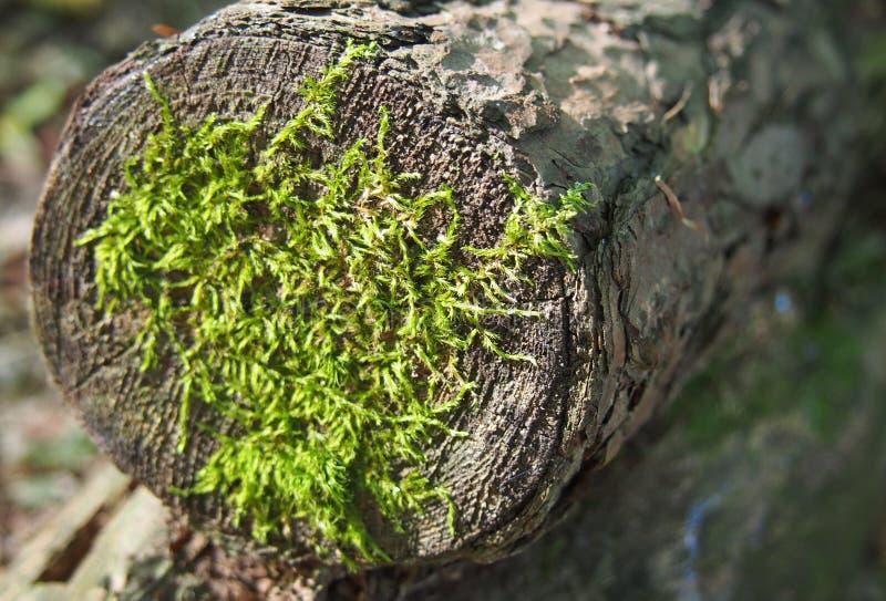 Wat mos op een hout royalty-vrije stock afbeelding