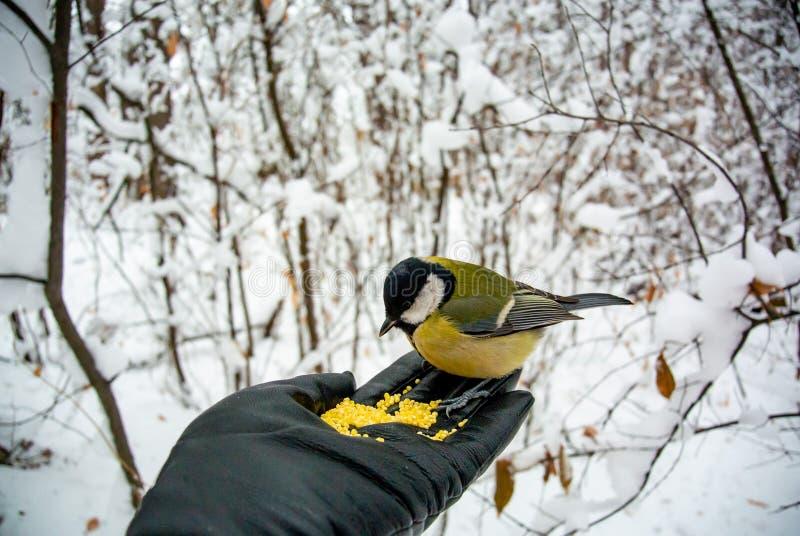 Wat om de vogels in de winter te voeden? De mens voedt de vogel in het de winterbos stock foto