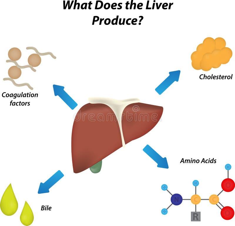 Wat produceert de Lever? vector illustratie
