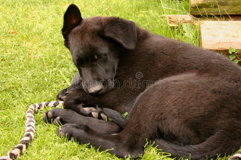 Wat puppyslaap op het gras omdat hij vermoeid was Het is een grappig puppy van een zwarte Duitse herder royalty-vrije stock foto's