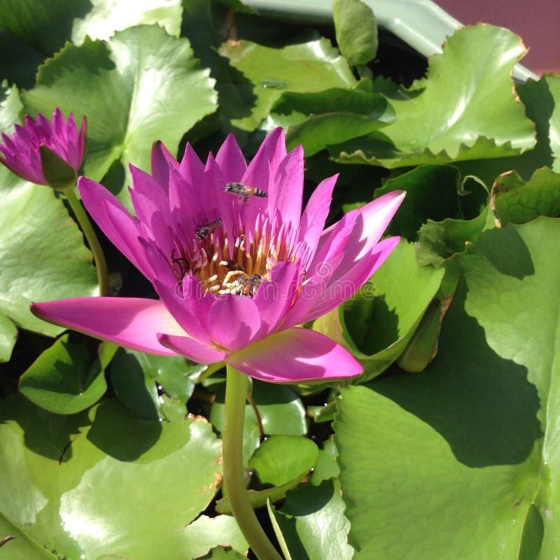 Wat Saket - Lotus och bin arkivfoto