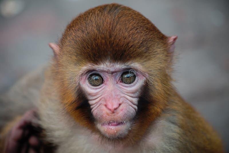 Wat weinig aap vond stock afbeelding