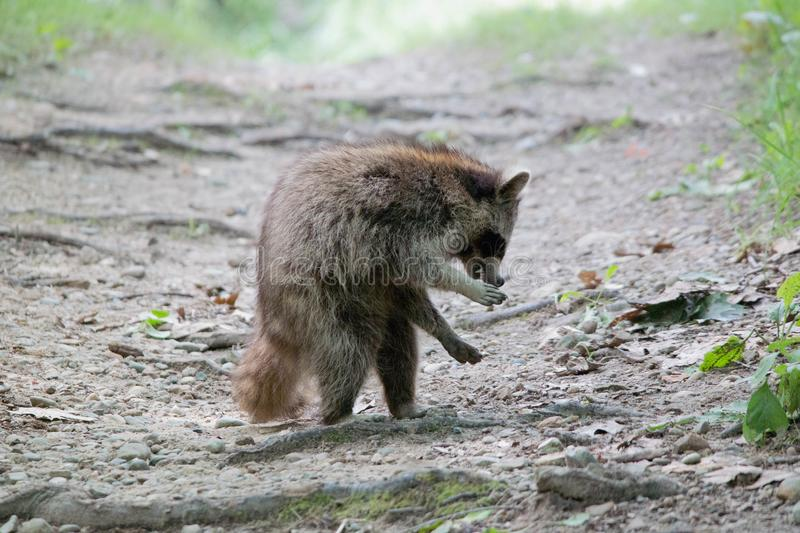 Watch out for the Raccoon stock photography