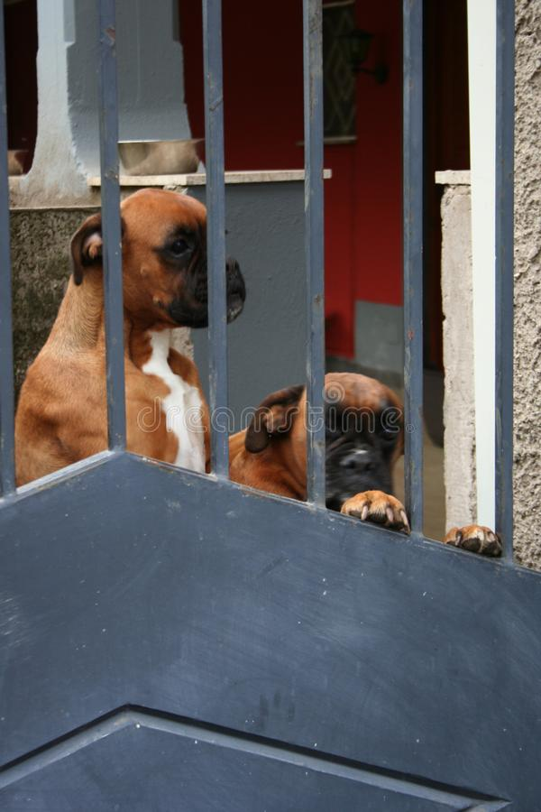 FANTASTIC DOGS - Watch out! Two boxer dogs guard behind a gate royalty free stock images