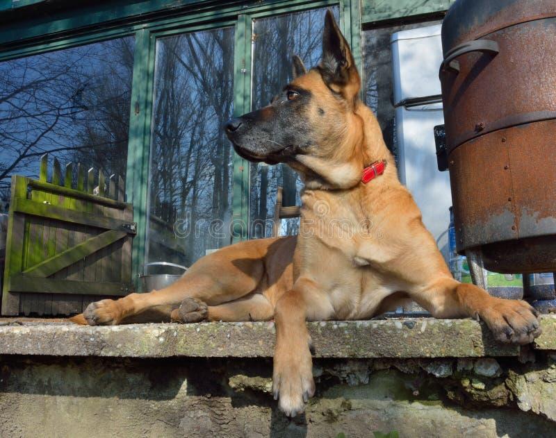 Watchdog, βελγικό Malinois στοκ φωτογραφία