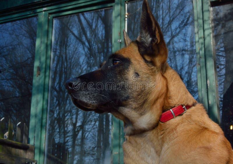 Watchdog, βελγικό Malinois στοκ φωτογραφία με δικαίωμα ελεύθερης χρήσης
