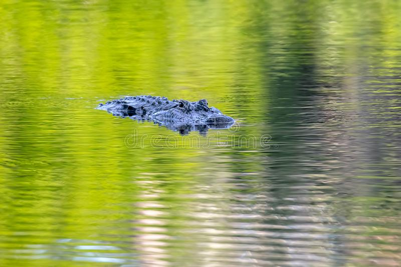 Watchful American Alligator On Green Water. A watchful American alligator for prey at dusk, on green water reflected by trees stock photography