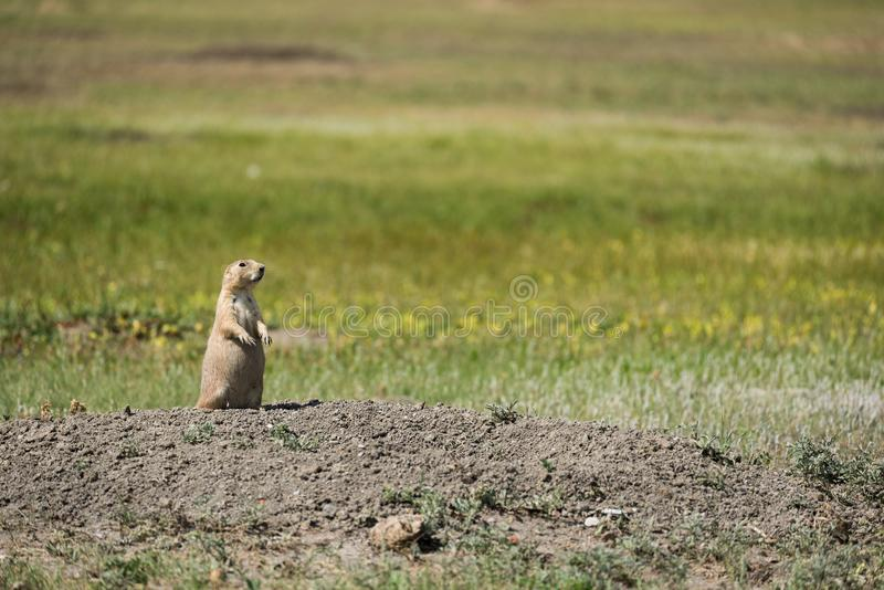 Watchful black-tailed Prairie Dog from Grasslands National Park, Canada stock image