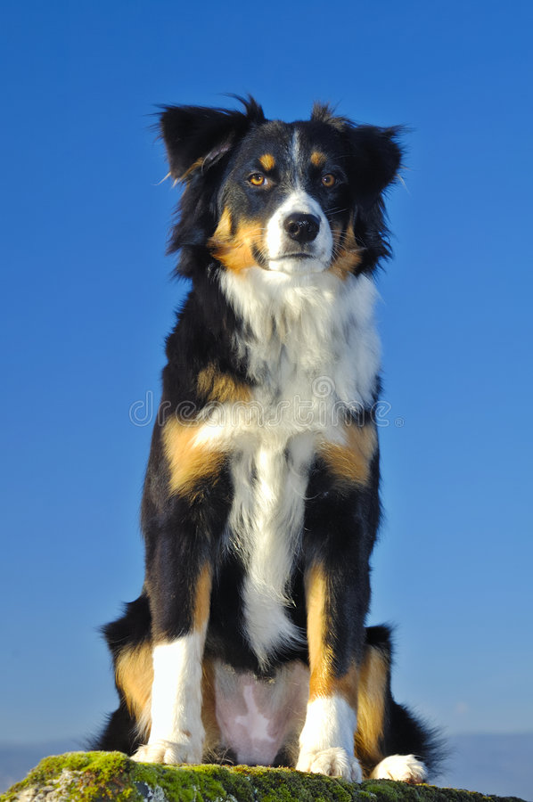 Watchful dog. Young dog (cross between a Border Collie and a Swiss breed called Appenzeller), sitting with a watchful look. Taken from a low viewpoint against a royalty free stock photography