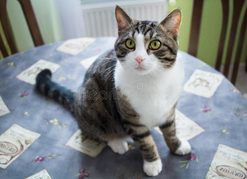 Watchful domestic pet cat with bright eyes sits on table. Watchful domestic pet cat with bright green eyes sits on table royalty free stock photography