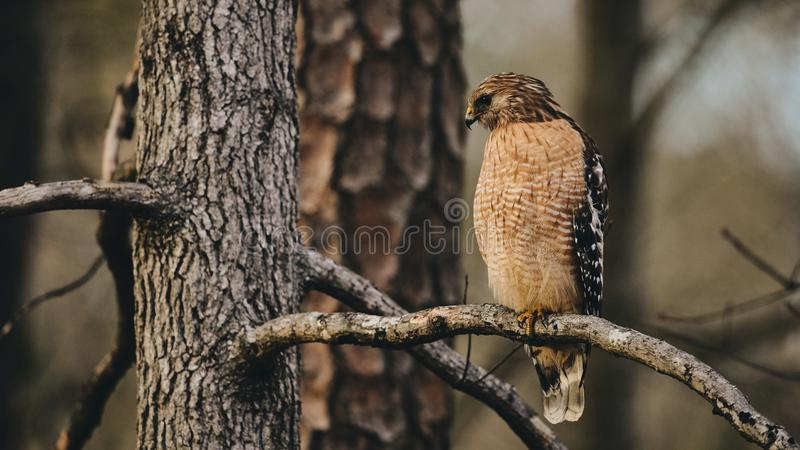 A watchful eagle, resting on the pine branch. Looking for escaping prey royalty free stock photography
