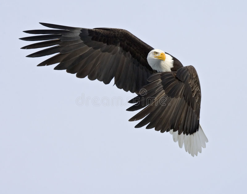 Watchful Eagle - Traffic Cop
