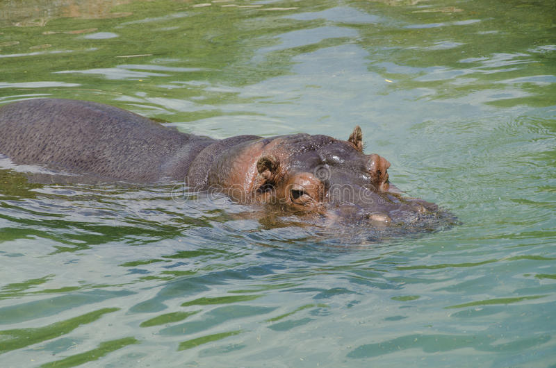 Watchful eyes of a hippo