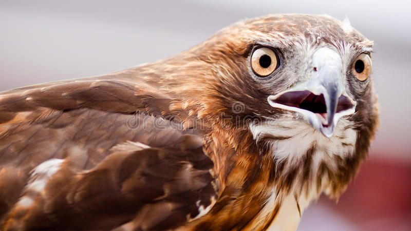 Watchful Hawk. Looking into camera stock images