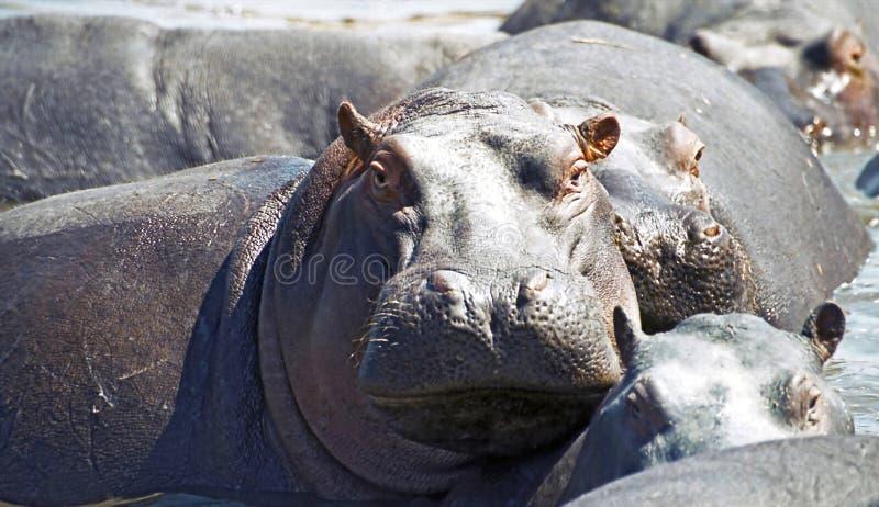 Watchful hippo. At a lake in Serengeti, Tanzania royalty free stock photography
