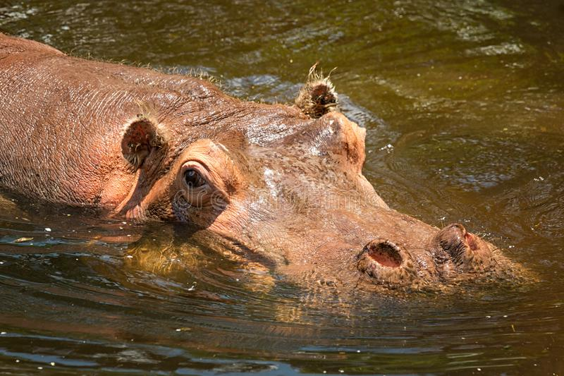 Watchful Hippo. A hippo watches at Homosassa Springs Wildlife State Park in Homosassa, FL stock images