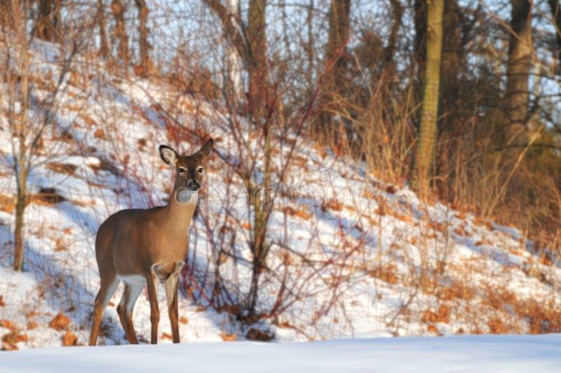 Watchful hjortar arkivfoto