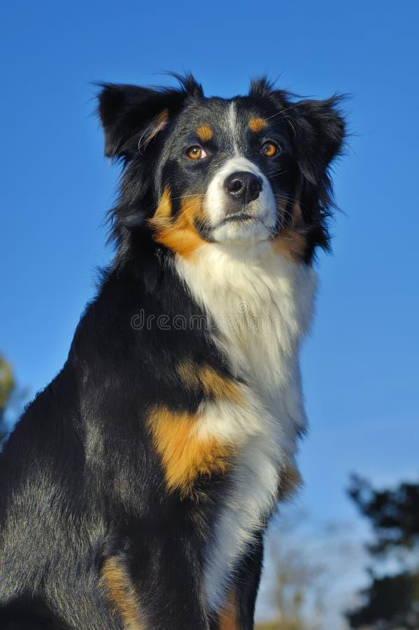 watchful hund royaltyfria foton