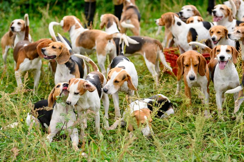 Watchful hunting dogs, hunter hounds, beagle dogs, beagle hounds waiting for hunt. A pack of beagle hounds waiting on countryside for the hunt royalty free stock photos