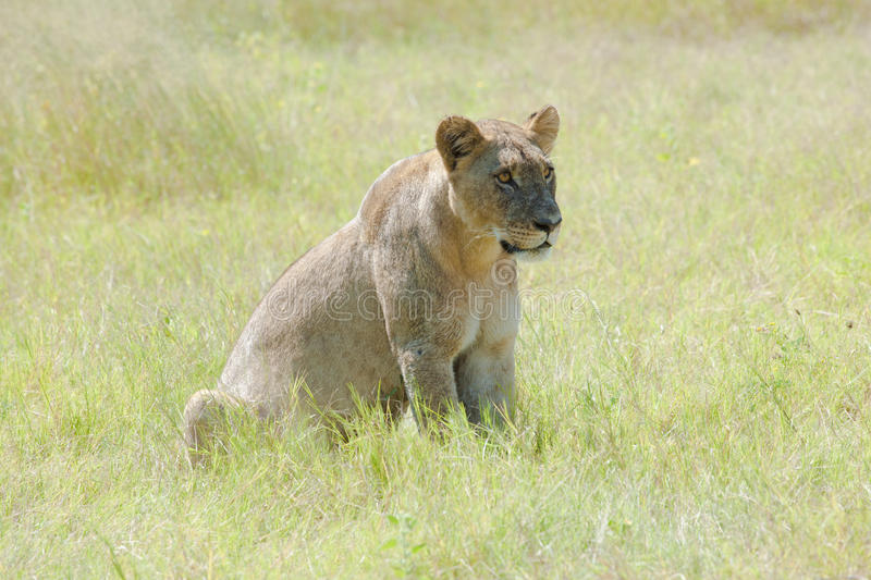 Watchful Lion. Sitting in the savannah in Botswana royalty free stock photography