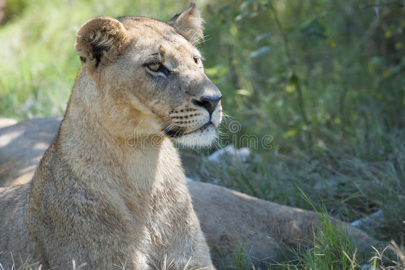 Watchful lioness in Botswana, Africa, lion alert, lioness alerting stock image