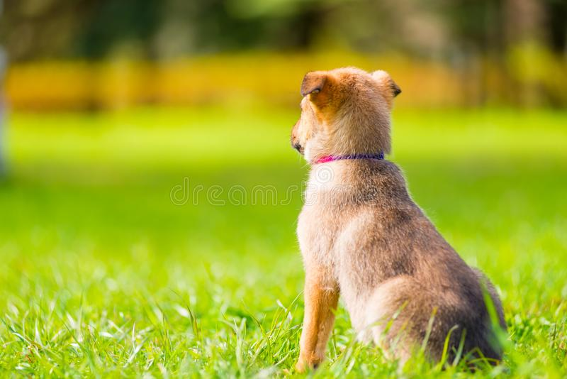 watchful little puppy looks into the distance stock photography