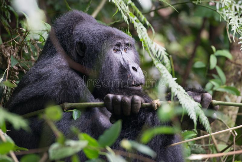 Watchful looking gorilla sitting in tree of mountain jungle in Uganda royalty free stock photography