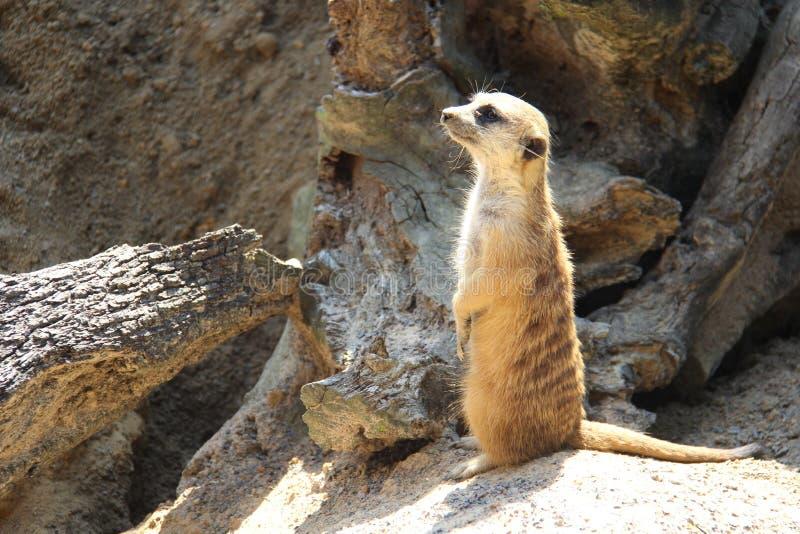 Watchful Meerkat arkivfoton