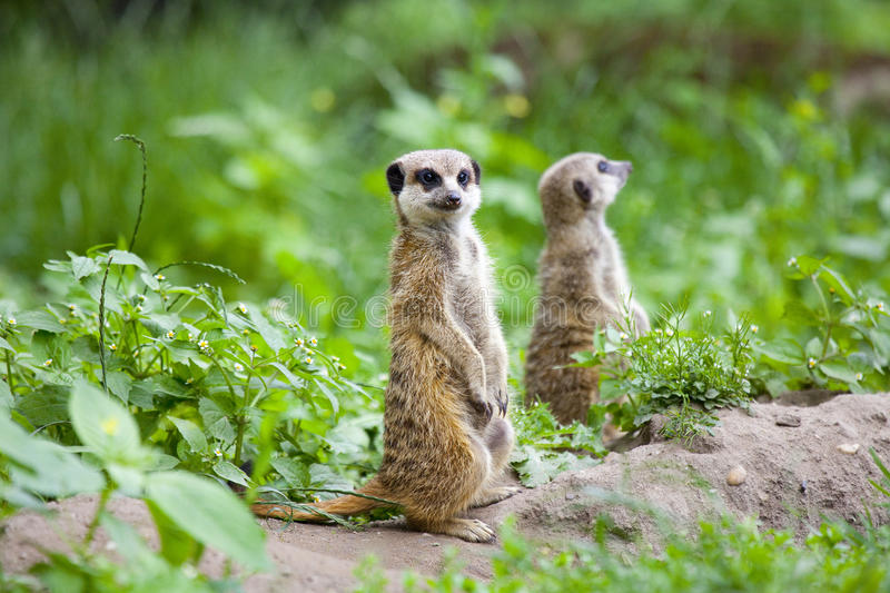 Watchful meerkat. Outdoor in a green meadow royalty free stock photos