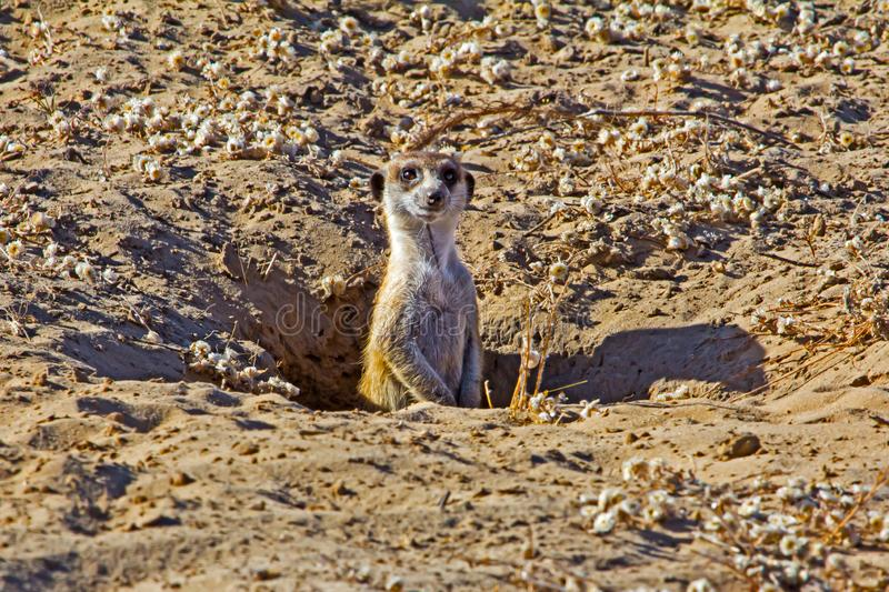 Watchful Meerkat poking head out of den. Watchful Meerkat poking head out of sandy den in Botswana royalty free stock photography