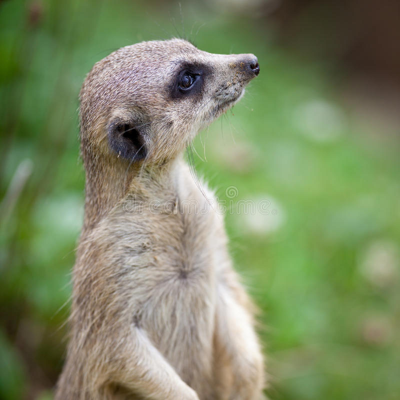Download Watchful Meerkat Standing Guard Stock Image - Image: 16145321