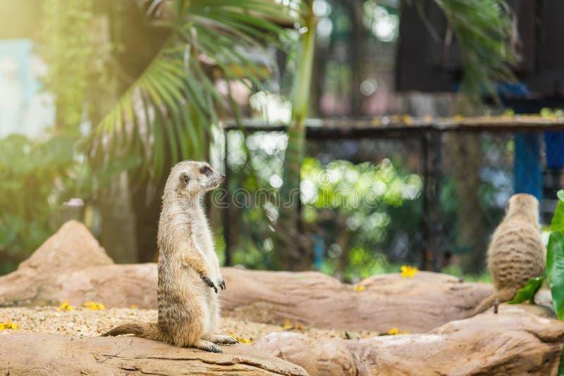 Watchful meerkatstandingguard thailand fotografering för bildbyråer