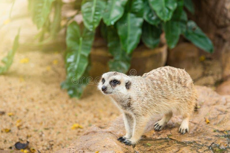 Watchful meerkatstandingguard thailand royaltyfri bild