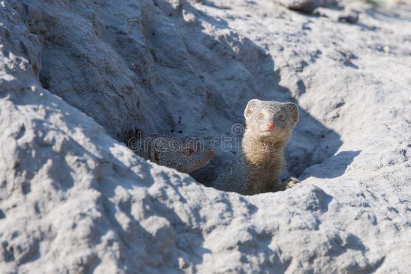 Watchful mongoose royalty free stock photos