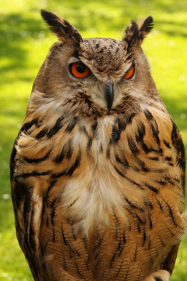 Watchful owl. A watchful owl screening its surroundings royalty free stock photo