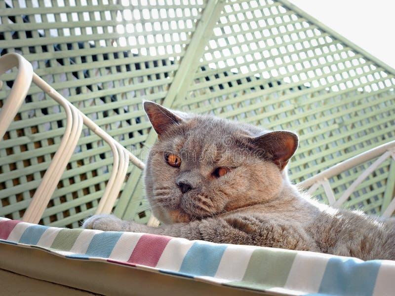 Watchful pedigree cat royalty free stock photography