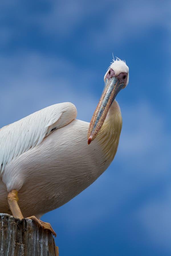 watchful pelikan fotografering för bildbyråer