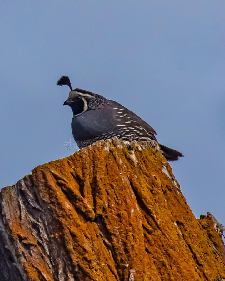 Watchful Quail. A watchful quail sits on a lichen covered tree in Central Oregon royalty free stock image