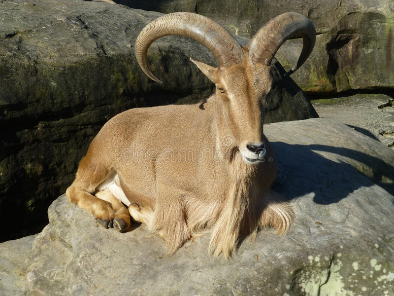 Watchful Ram. Watchful sitting Ram with Horns royalty free stock image