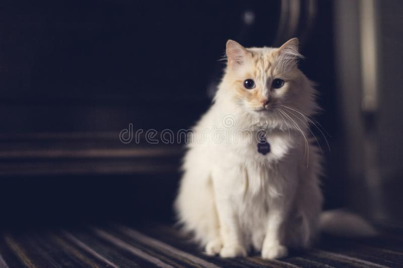 A watchful sandy white cat on the carpet. Playfully eyeing the camera stock photo
