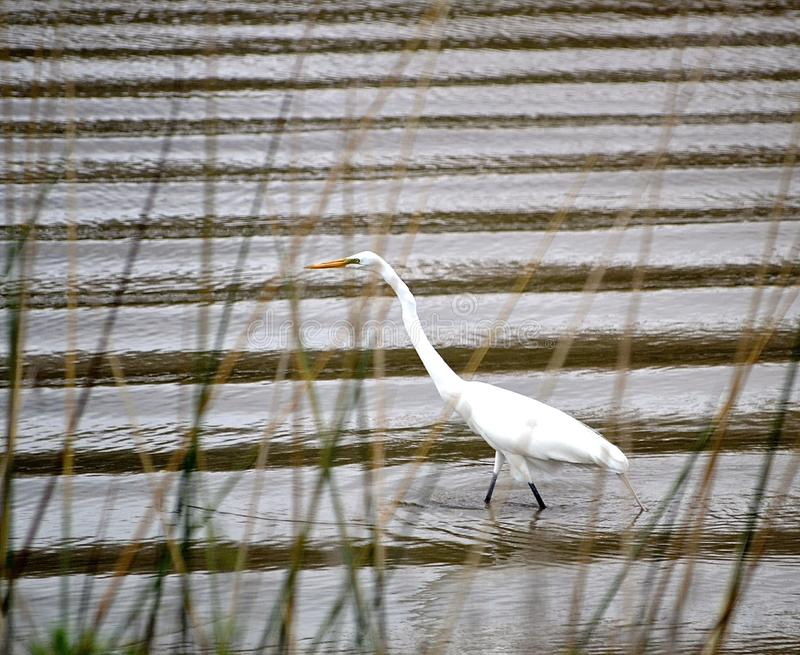 Watchful Snowy Egret. With a watchful eye, a beautiful Snowy Egret wades through waters of Avery Island, La royalty free stock photo