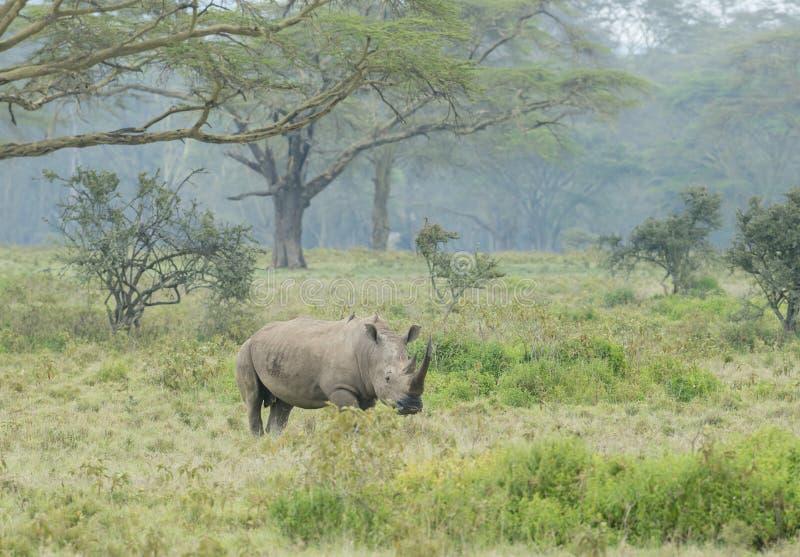 Watchful White Rhino at lake Nakuru royalty free stock image