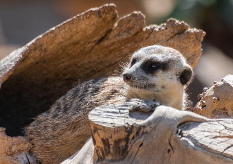 Watchfull de assento do suricatta do Suricata de Meerkat foto de stock