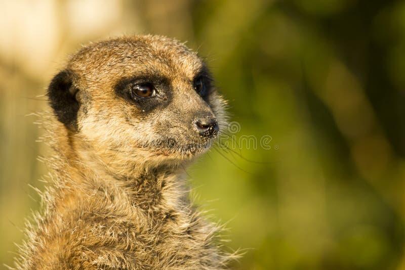 Watchfull meerkat stock foto's