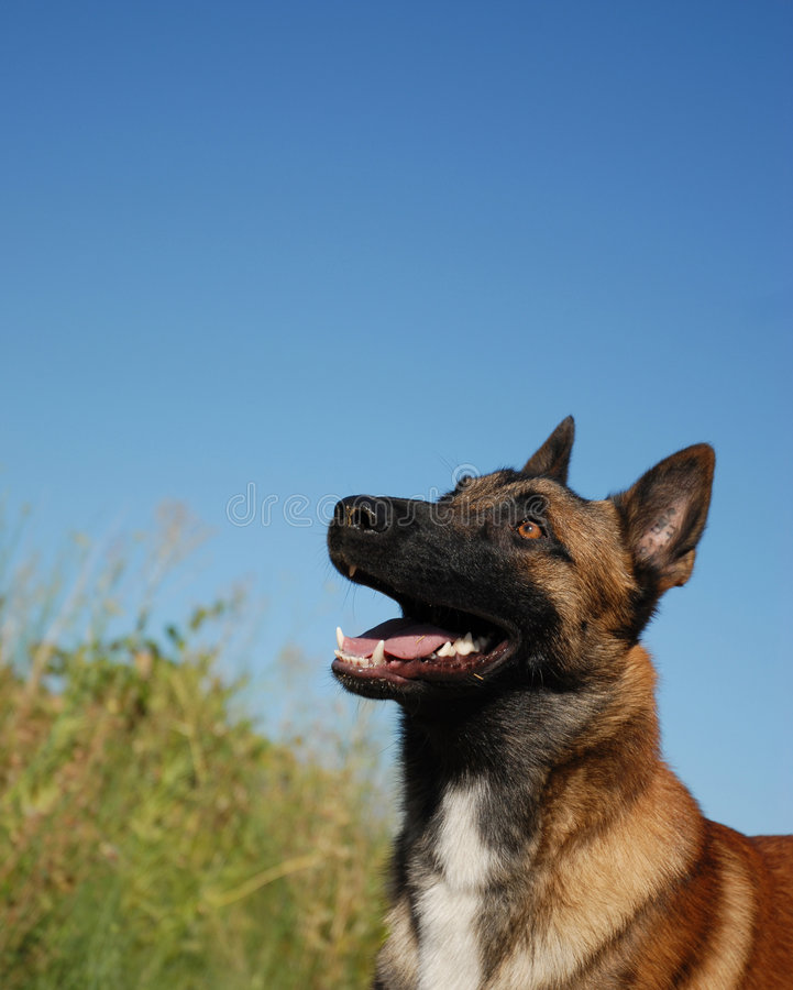 Watching belgian shepherd stock image